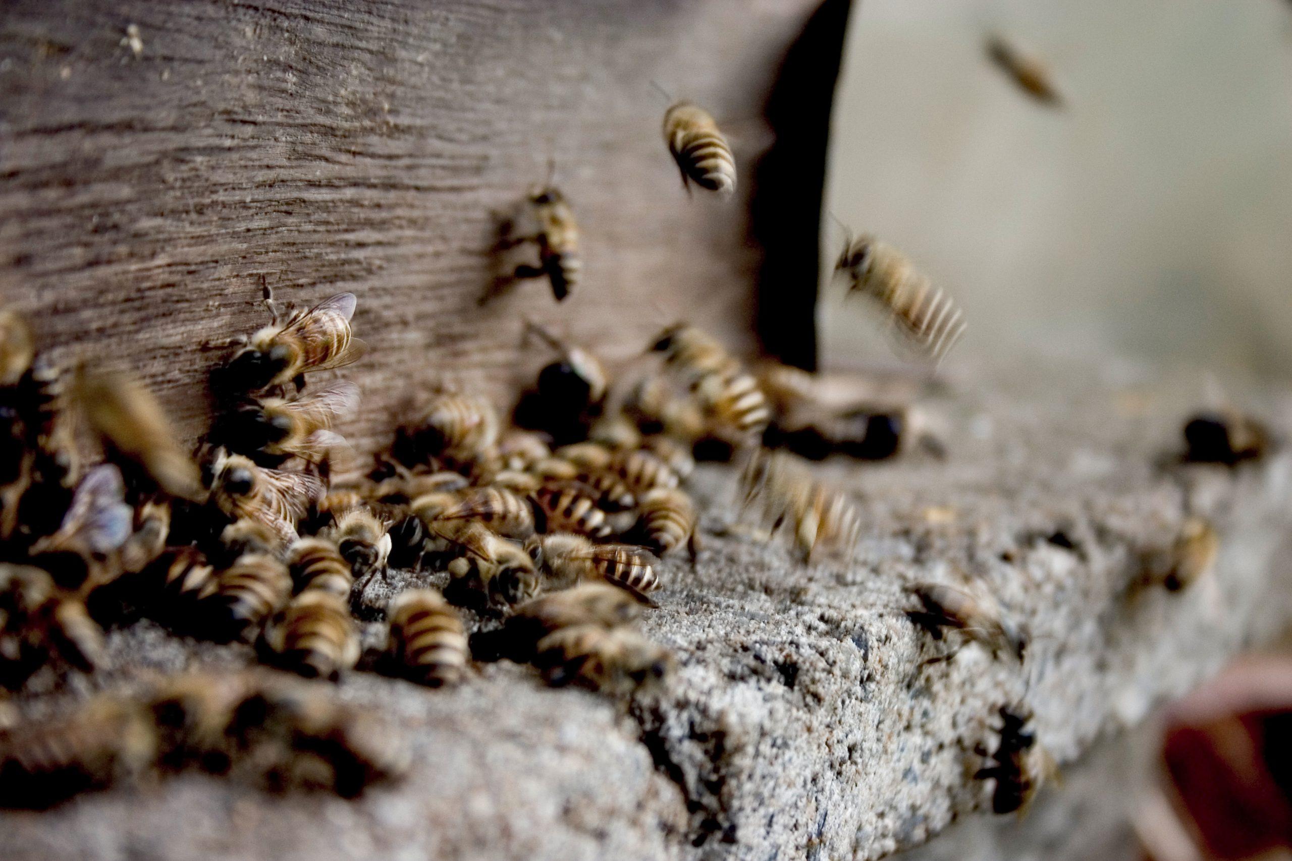 L'allergie aux venins d'hyménoptères